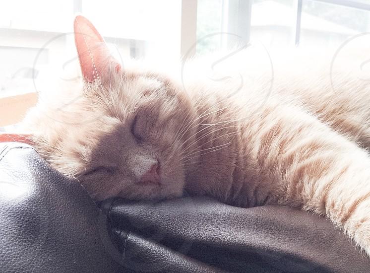orange tabby cat lying on black leather photo