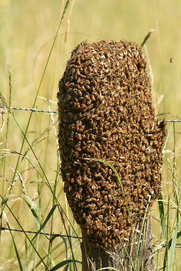 bees swarm queenbee hive photo