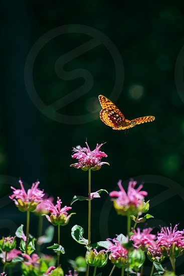 Butterfly in Flight fly flowers garden perennials Spring Summer delicate fragile graceful colorful pink orange green sunny sunshine wings leaf plant petals  photo