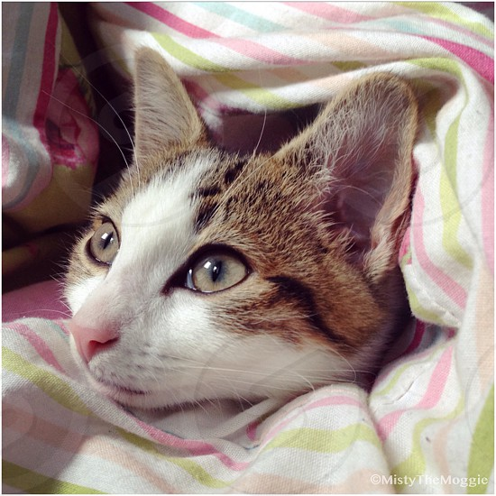 Cute Cat Kitten Burrito In Bed Face By Rachael Yeung Photo Stock Snapwire