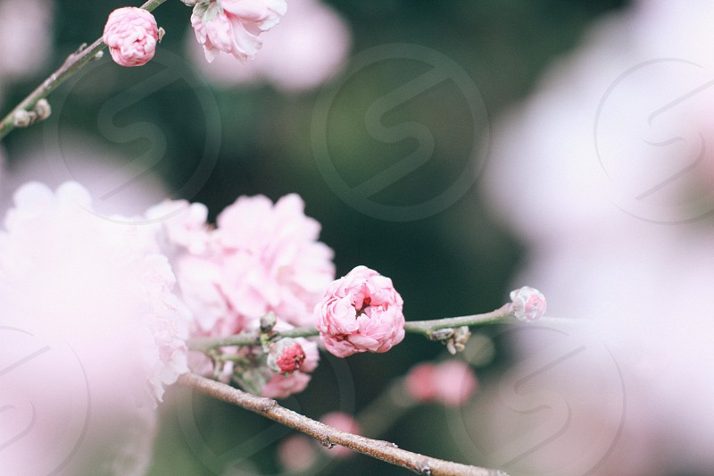 cherry blossoms macro photography photo