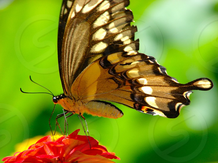 Yellow Swallowtail Butterfly photo