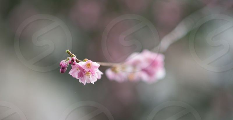 Cherry buds photo