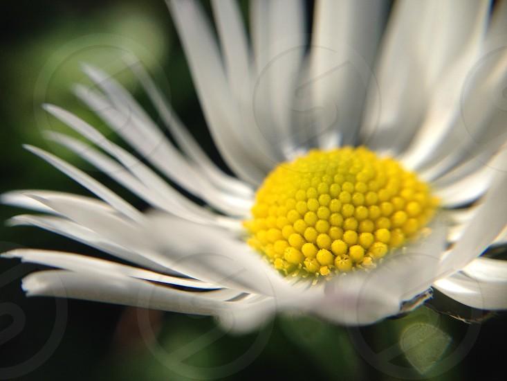 white petal flower yellow interior  photo