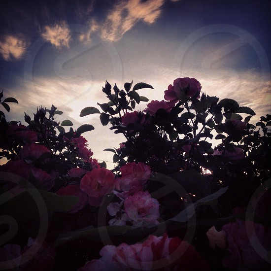 view of pink flower plant photo