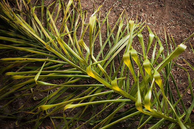 A yellow and green palm frond laying on the brown earth / ground. photo