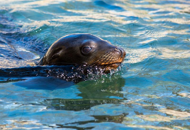 Seal animal mammal water swimming ocean life aquatic  photo