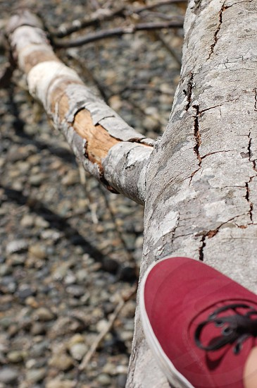 person in burgundy shoes with black laces on tree branch photo
