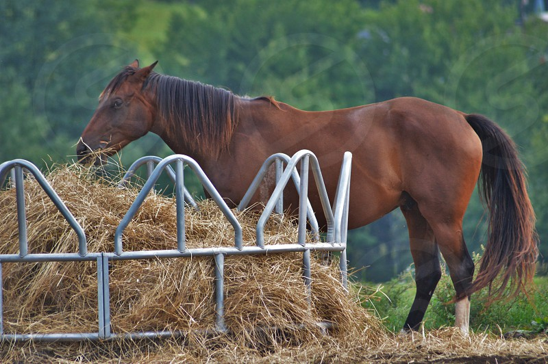 brown horse eating hay photo