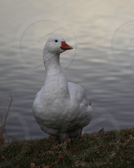 White goose 1 photo