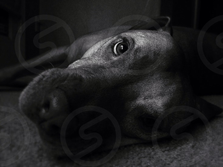 black and white photo of staffordshire terrier photo