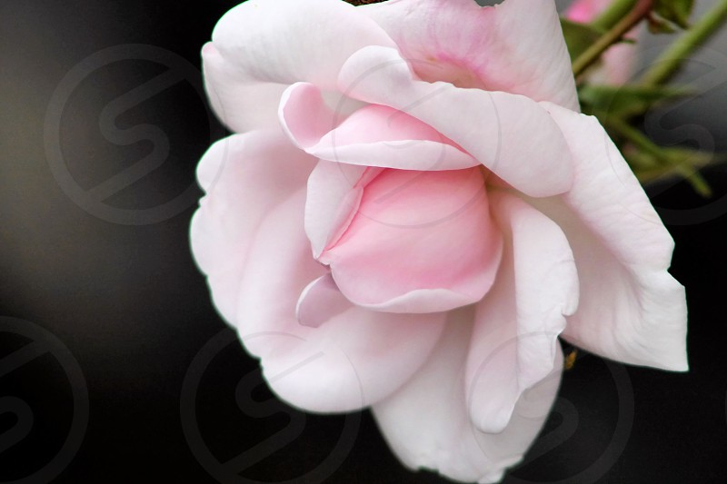 Perfect Pink Rose delicate petals photo