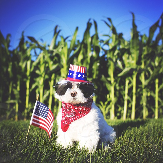 small white dog wearing red bandana and american flag top hat photo