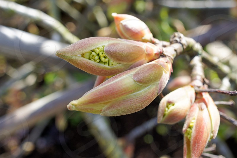 Maple tree spring bud photo