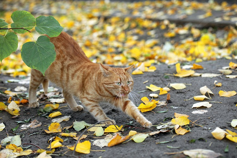 red cat and red autumn photo
