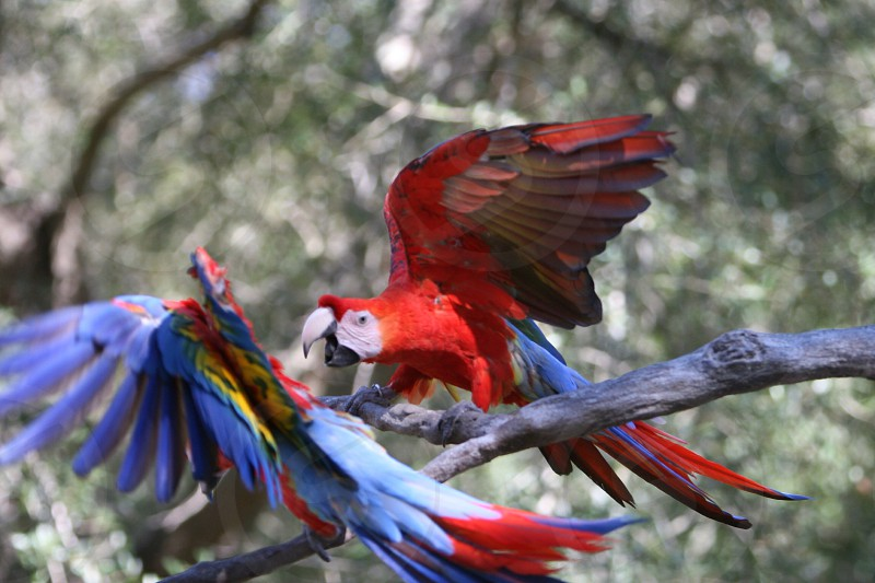 Red bird parrots playing together.  photo