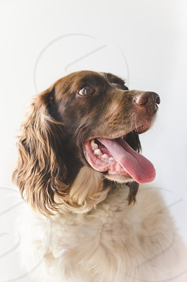 Springer Spaniel on light background with mouth open. photo