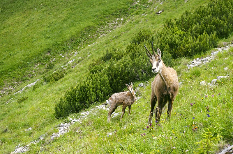 Mountain goats in Tatra Mountains photo