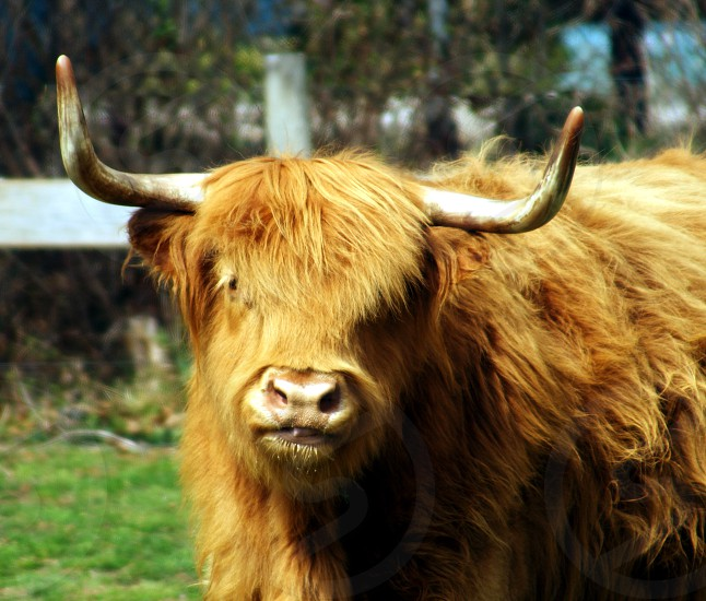 brown highland cattle on green grass during daytime photo