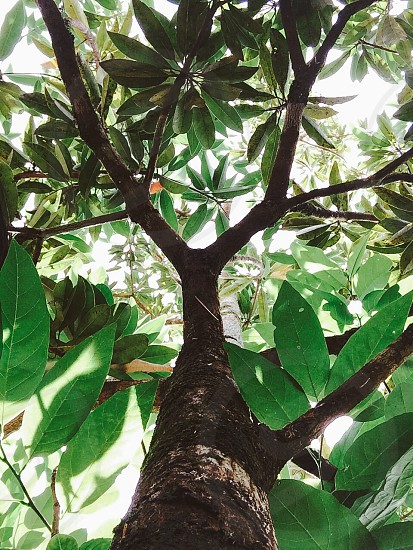 green ovate leaf photo