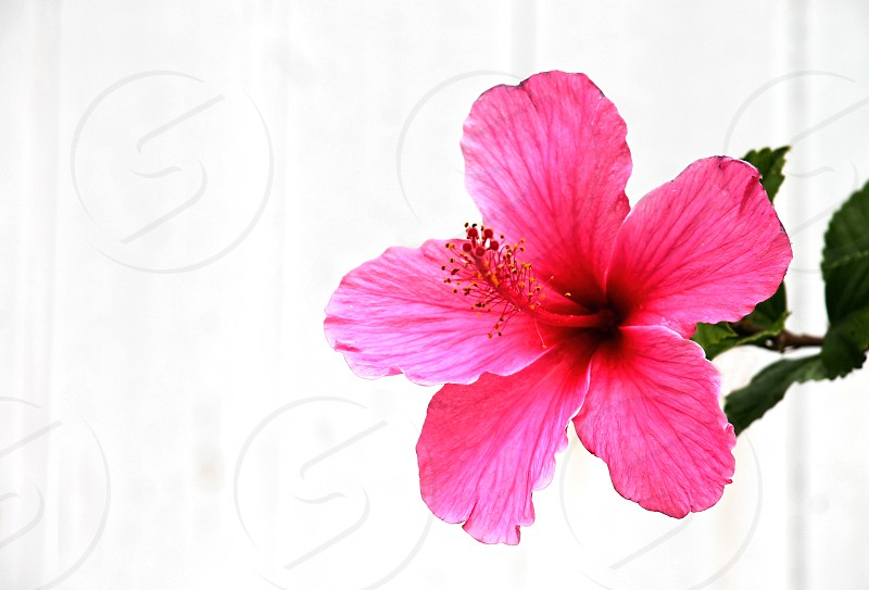 bright pink flower against a white background photo