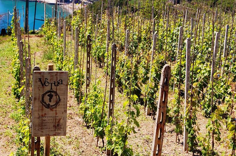 grape vine farm photo