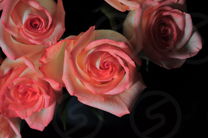 close up photography of pink rose flowers photo