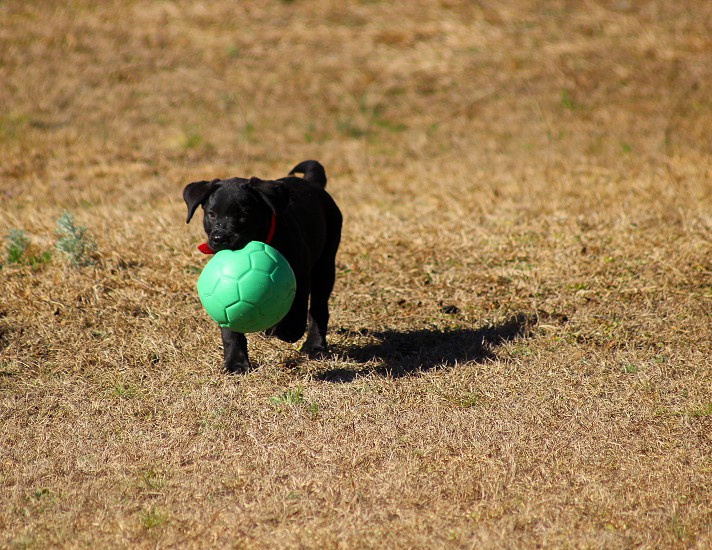 black labrador puppy stealing a ball of plastic photo