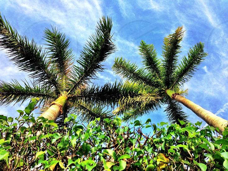 Palm trees.  photo