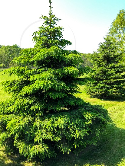 Evergreen pine in the summer photo