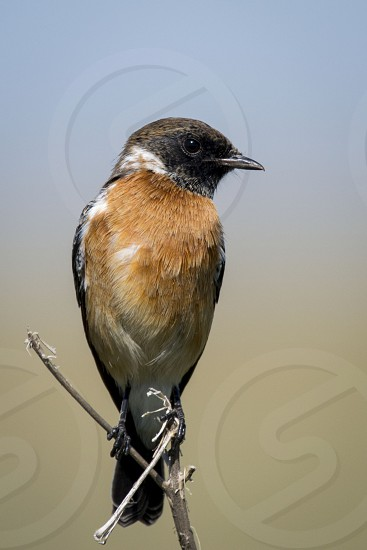 African Stonechat stonechat reitvlei nature reserve bird bird life birds feathers beak bill wings blue brown Africa wild wildlife portrait photo