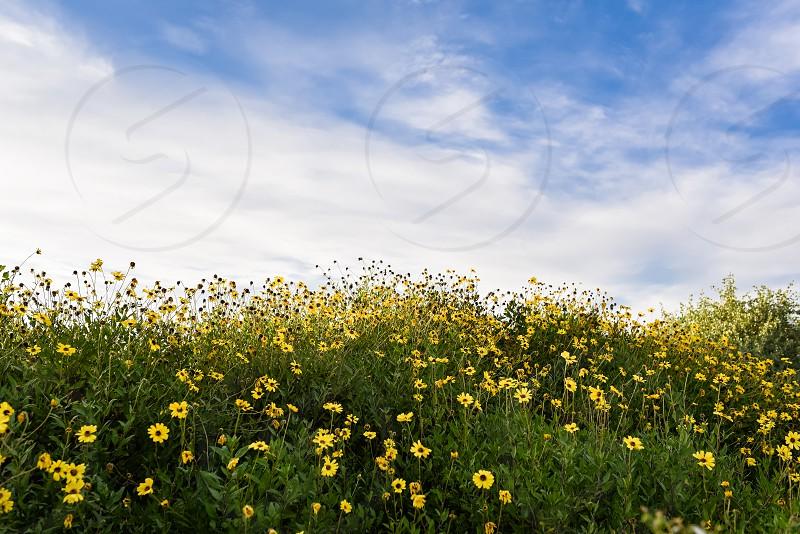 flowers yellow wildflower sky clouds spring photo