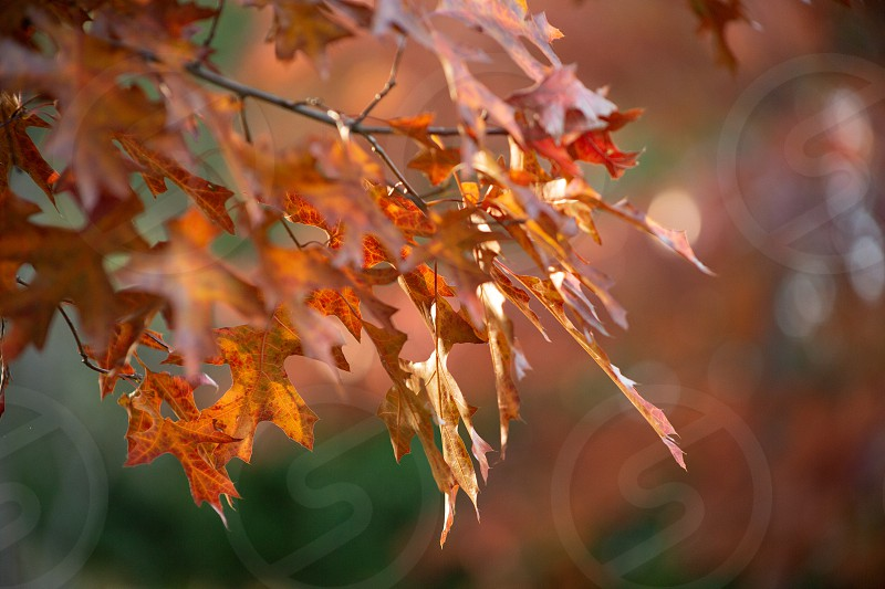 The sun shines on a portion of autumn leaves in a tree. photo
