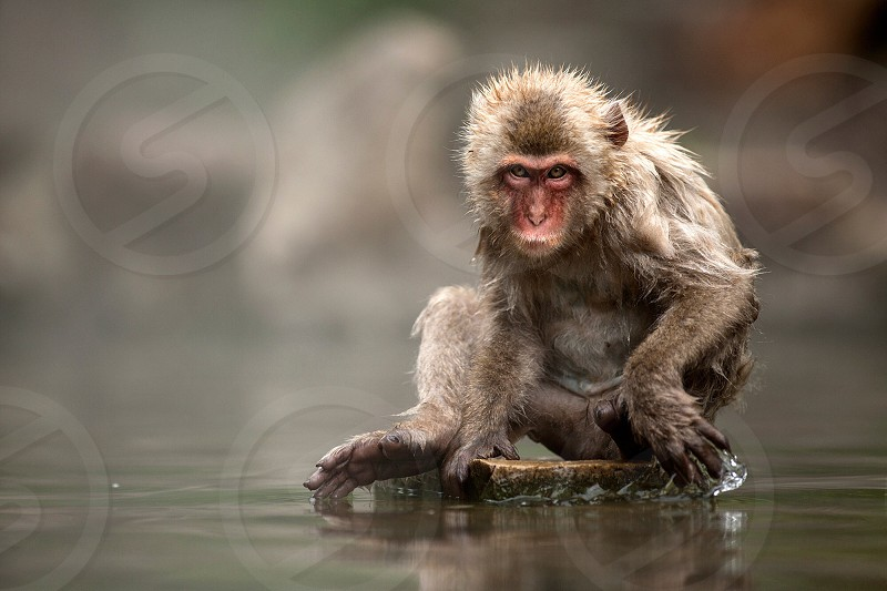 A Japanese macaque looks straight into the camera whilst playing with water photo