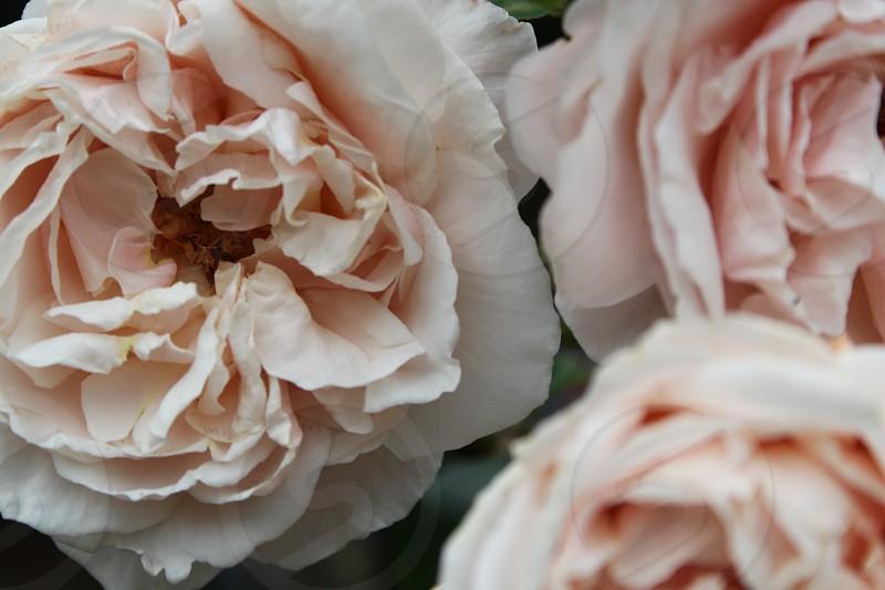 white rose flower photo