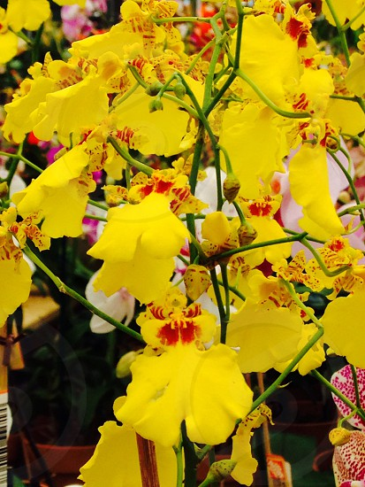 Orchid yellow yellow orchid  photo