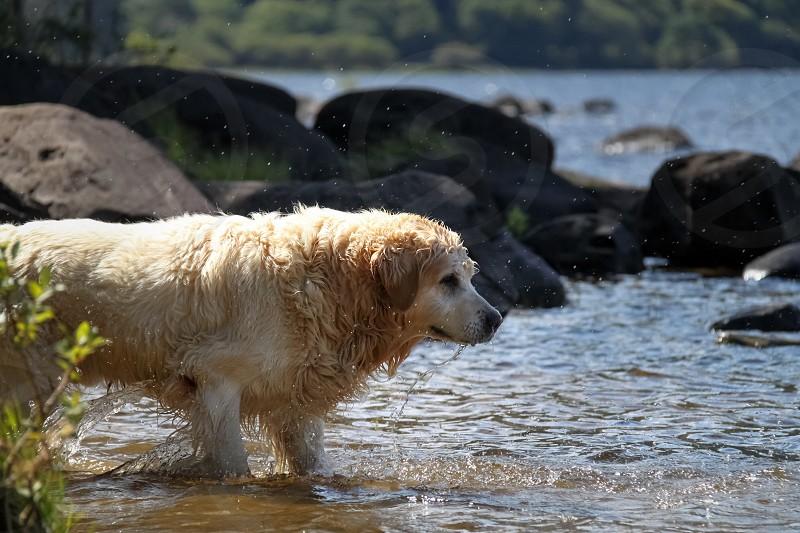 brown long haired large dog walking photo