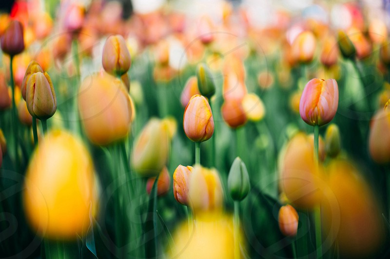 yellow tulips in the meadow photo