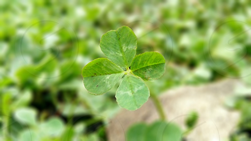 Four leaf clover. photo