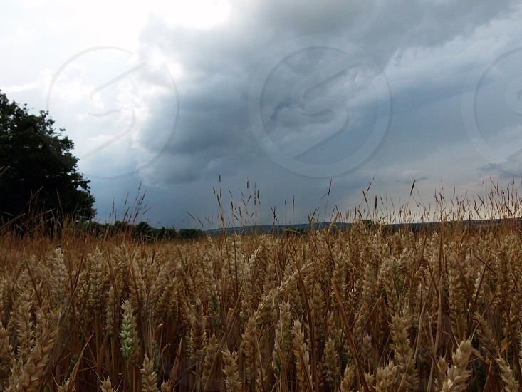 brown wheat field and gray clouds photo