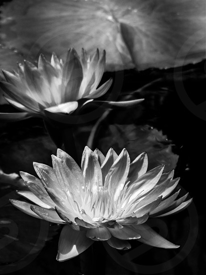 Water waterlily Lily lilies  flower flowers bw BW monochrome nature beauty floating float blooming leafs leaf bloom flora botanical botanic garden  photo