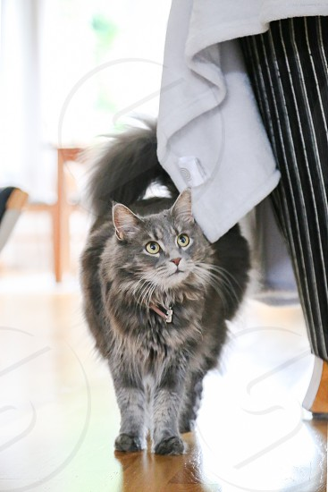 Grey cat cat kitten hairy fluffy  cute indoors pet mammal whisker looking up photo