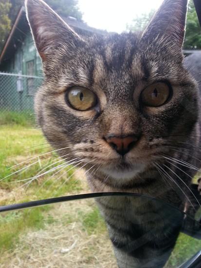 Pet tabby cat Lola photo