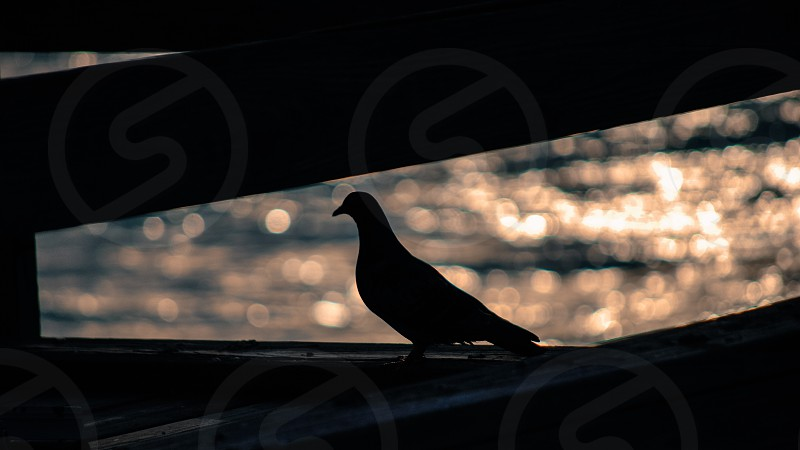 Dove silhouette with ocean in background  photo