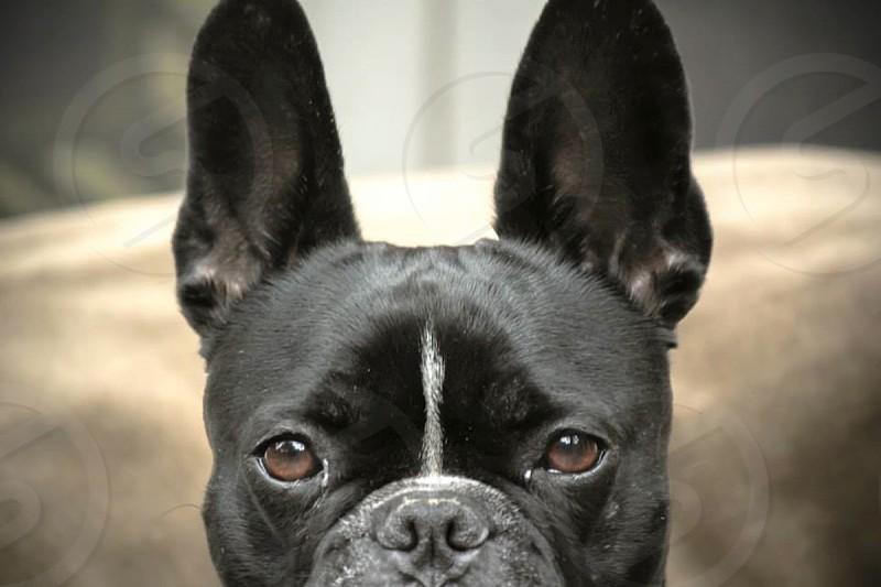black and white french bulldog photo