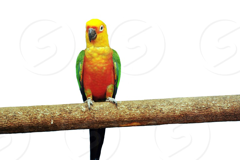 yellow green and orange carolina parakeet perched on brown tree branch with whiteout background photo