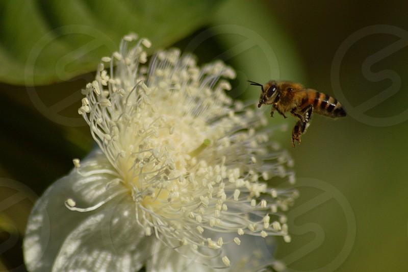 honey bee on whit petaled flower photo