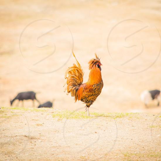 orange rooster macro shot photography photo