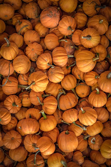 Downward shot of a large number of small pumpkins during the autumn time. photo