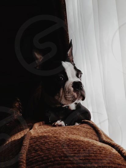 dog sitting near curtain photo